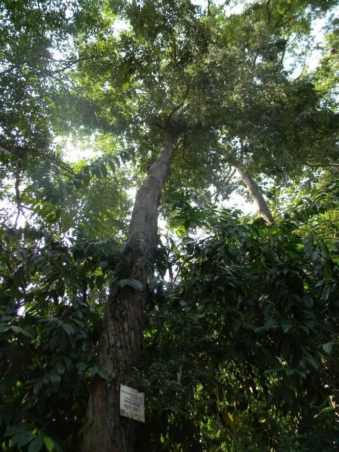 Cây vấp 1 cao sừng sững, oai vệ trong Thảo Cầm Viên - Ảnh: SƠN TRẦN