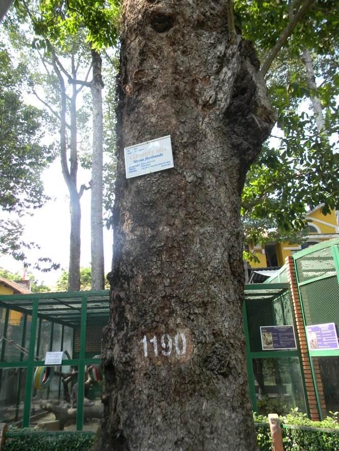 Gốc cây vấp 1 trong Thảo Cầm Viên mang số hiệu 1190 - Ảnh: SƠN TRẦN