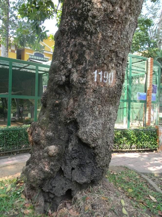 Gốc cây vấp 2 trong Thảo Cầm Viên xem ra đã và đang chống chỏi với thời gian - Ảnh: SƠN TRẦN