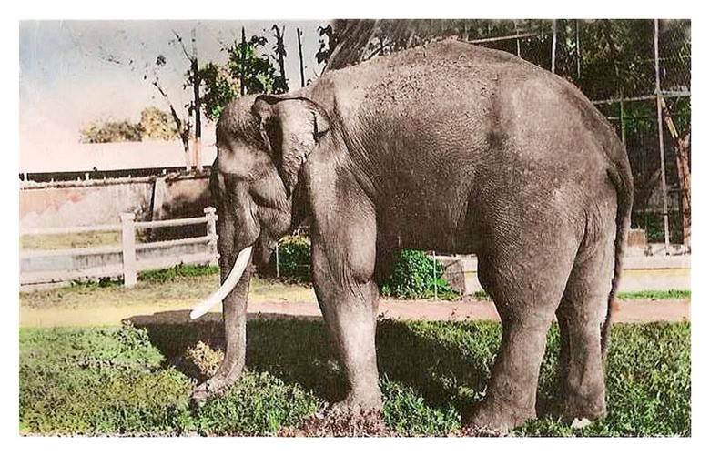 Một chú voi được nuôi dưỡng trong Thảo Cầm Viên trước năm 1975